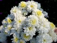 Chrysanthemum x grandiflorum  'Raduza' - Chrysantheme