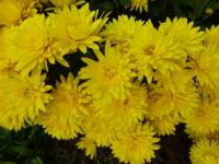 Chrysanthemum x grandiflorum  'Pavla'  Chrysantheme Pflanze