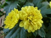Chrysantheme Chrysanthemum x grandiflorum  'Zuzka'