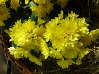 Chrysantheme Chrysanthemum x grandiflorum  'Lenka'