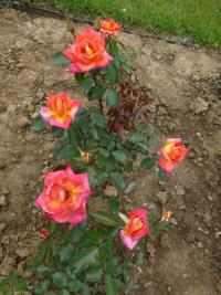 Rosa 'Piccadilly'  Rose Pflanze