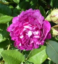 Rosa          'Belle de Crecy'  Rose Blüten