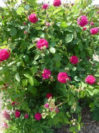 Rosa  'Bardou Job' - Rose