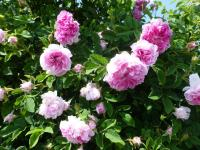 Rosa    'Blush Damask'  Rose Pflanze