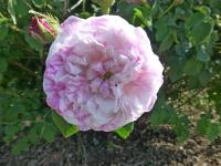 Rose Rosa  'Cottage Maid'