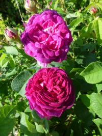Rosa   'Velours Pourpre' - Rose
