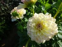 Dahlia  'Alloway Cottage' - Garten-Dahlie