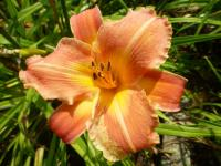 Hemerocallis    'Canyon Beauty'  Taglilie Blüten