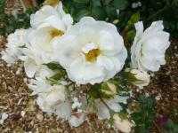 Rosa  'Diamond Border' - Rose