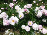 Paeonia lactiflora  'Agnes Mary Kelway' - Chinesische Pfingstrose