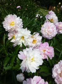 Paeonia lactiflora  'Agnes Mary Kelway'  Chinesische Pfingstrose Pflanze