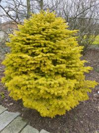 Nordmann Fir Abies nordmanniana  'Golden Spreader'