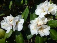 Alpenrose Rhododendron  'Mount Everest'