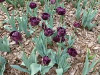 Tulipa 'Black Hero'  Tulpe Pflanze