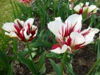 Tulipa      'Flaming Springgreen'  Tulpe Pflanze