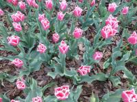 Tulipa   'Bell Song'  Tulpe Pflanze