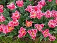 Tulipa    'Joint Division'  Tulpe Pflanze
