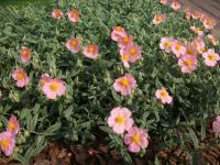 Helianthemum (Helianthemum)