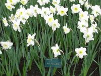 Narcis Ice Follies (Narcissus x hybridus)