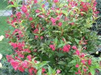 Vajgélie Red Prince (Weigela florida)