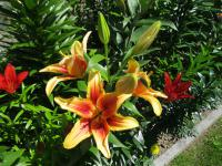 Lilium x hybridum 'First Crown'  Lilie Pflanze