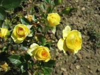 Růže Gold Jewel (Rosa sp)