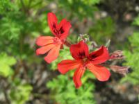 Pelargonie 'Scarlet Unique' (Pelargonium)
