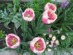 Tulipa 'Jumbo Beauty'  Tulpe Pflanze