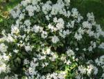 Rhododendron  'Cunninghams White' - Alpenrose