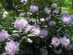 Rhododendron  'Caracacus' - Alpenrose