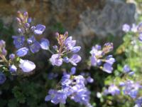 Rozrazil (Veronica oltensis)