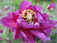 Pivoňka keřovitá 'Duchess of Marlborough' (Paeonia suffruticosa)