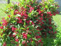 Weigela florida 'Red Prince'  Rosenrote Weigelie Pflanze