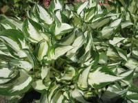 Hosta 'Fire and Ice'  Funkie Pflanze