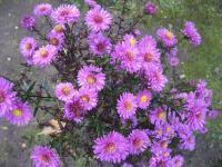 Symphyotrichum novae-angliae 'Kate Bloomfield'  Raublattaster Pflanze
