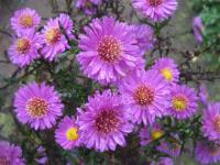 Symphyotrichum novae-angliae   'Kate Bloomfield'  Raublattaster Blüten