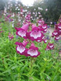 (Penstemon hybrid) Dračík 'Lord Home'