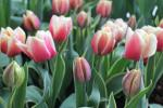 Tulipa   'Top Lips'  Tulpe Pflanze