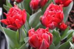 Tulipa    'Red Princess'  Tulpe Blüten