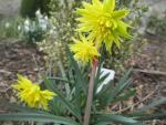 Narcissus 'Rip van Twinkle'  Narzisse Pflanze