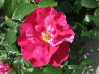Rosa  'Guy Savoy' - Rose