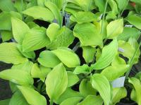 Hosta  'August Moon'  Funkie Pflanze