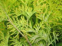 Zerav západní 'Yellow Ribbon' (Thuja occidentalis)