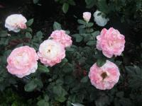 Rosa 'English Miss'  Rose Pflanze