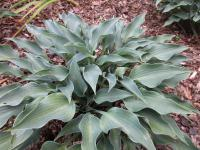 Hosta 'Rhythm and Blues'  Funkie Pflanze
