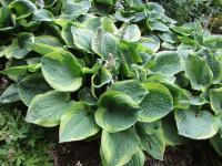 Hosta   'Fool's Gold' - Funkie