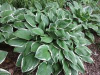 (Hosta) Bohyška Green Gold