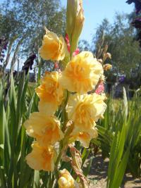 Gladiolus 'Morning Gold'  Gladiolen Blüten