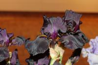 Iris barbata 'Old Black Magic'  Bart-Schwertlilie Blüten