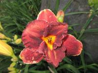 Hemerocallis   'Night Embers'  Taglilie Blüten